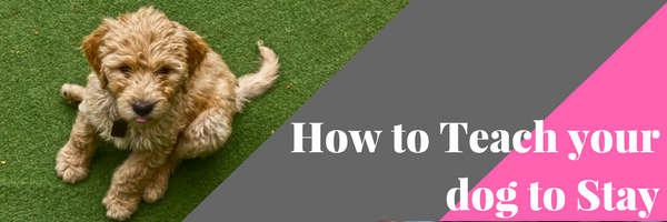 how to teach a dog to stay Training dogs not to jump  teach your dog a behavior that is incompatible with jumping such as a high-distraction sit/stay.