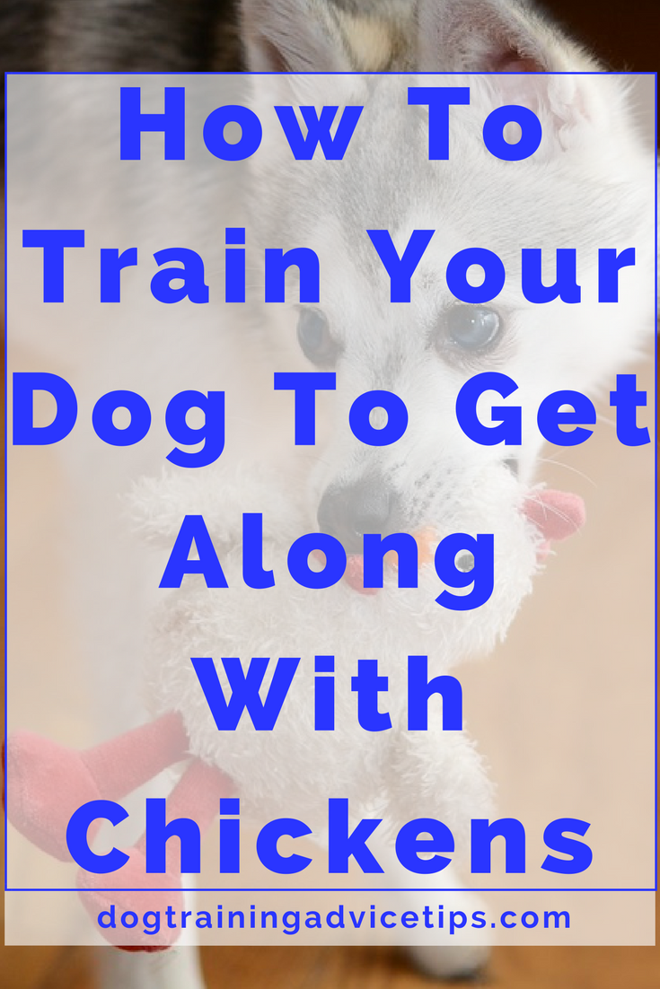 How to chicken proof your dog